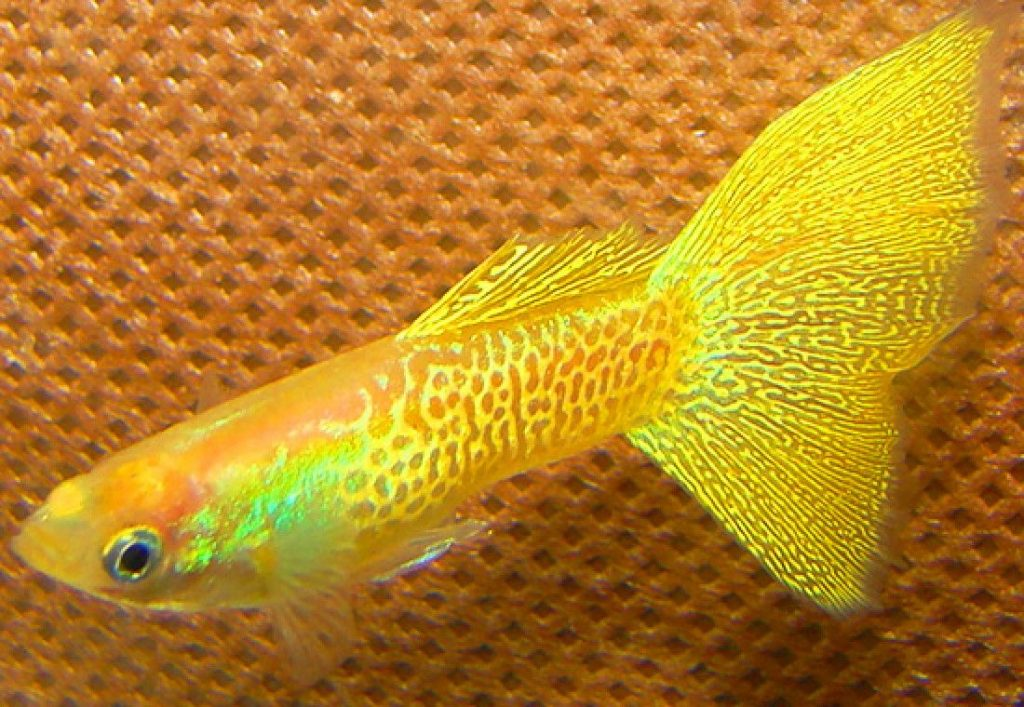 Stack Gallery Fish Guppy Yellow Cobra 04 1100x760 Compressor Pick Fish